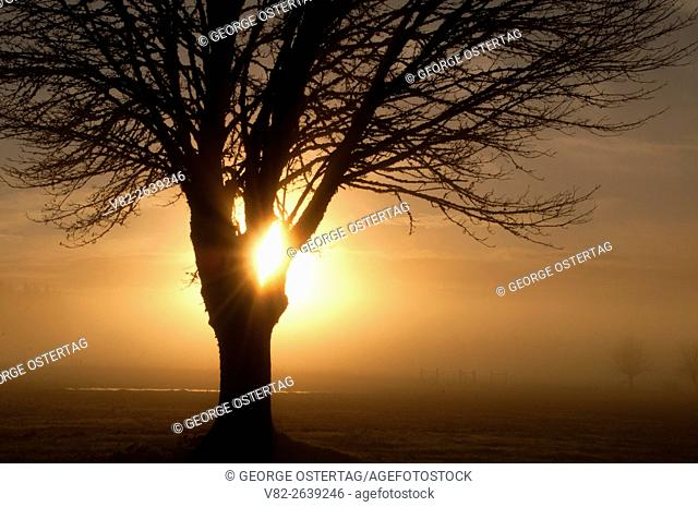 Oak sunrise with fog, Polk County, Oregon