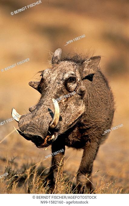 Warthog Phacochoerus aethiopicus, dry grassland, Etosha National Park, Namibia
