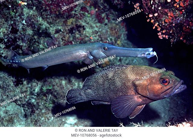 Trumpetfish & Speckled-fin Rockcod / white-streaked Grouper (Epinephelus ongus) - the Trumpetfish hovers next to Speckeled-Fin Rockcod waiting for it's prey