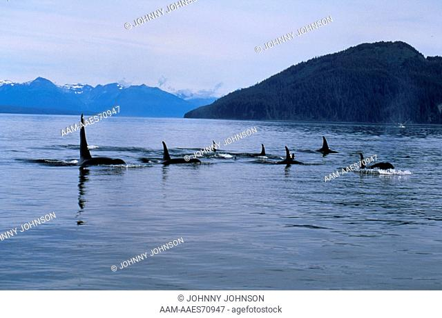 Orca Whale Pod (Orcinus orca) July Glacier Bay NP/SE Alaska