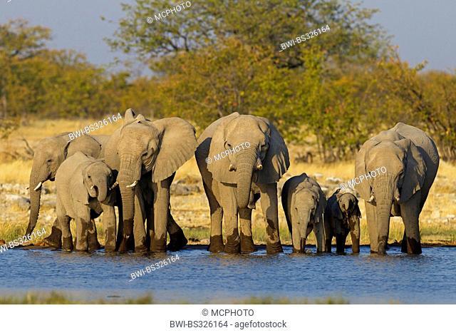 African elephant (Loxodonta africana), herd at a waterhole, Namibia, Etosha National Park, Oshikoto, Riedfontein Fountain
