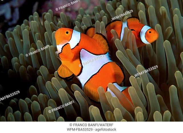 Couple of Clown Anemonefish, Amphiprion ocellaris, Kimbe Bay, New Britain, Papua New Guinea