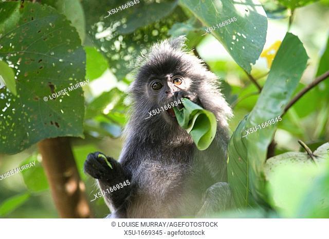 Silvered leaf monkey,Trachypithecus cristatus cristatus  Also known as silvered langur, silvered leaf-monkey, silvered monkey