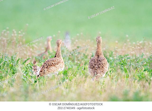 Little Bustard (Tetrax tetrax) females on habitat. Lleida province. Catalonia. Spain