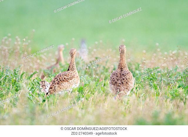 Little Bustard (Tetrax tetrax) females on habitat. Lleida province. Catalonia. Spain