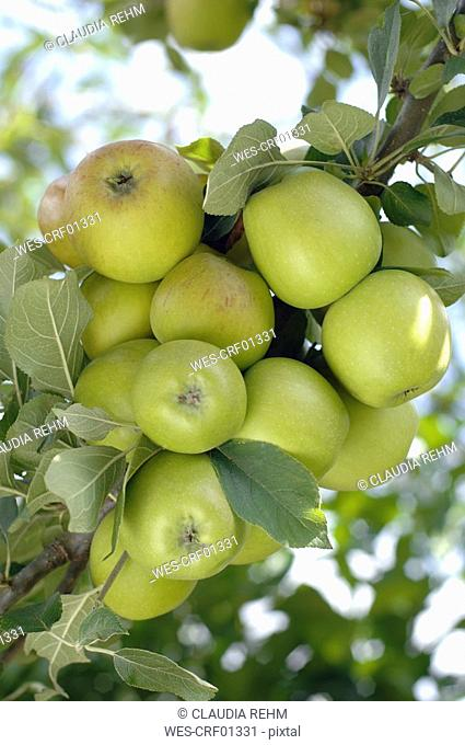 Germany, Bavaria, Green apples on tree, close-up