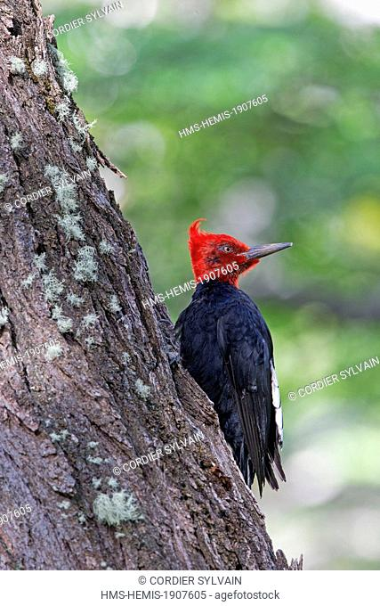 Chile, Patagonia, Magellan Region, Torres del Paine National Park, Magellanic Woodpecker (Campephilus magellanicus), adult male