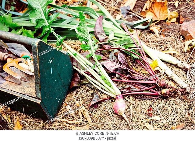 Fresh vegetables on ground in garden