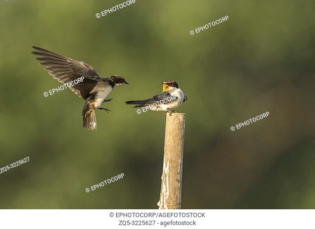Wire-tailed swallow, Hirundo smithii, Ghansoli, Maharashtra, India