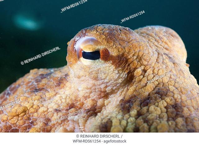 Eye of Common Octopus, Octopus vulgaris, Cap de Creus, Costa Brava, Spain
