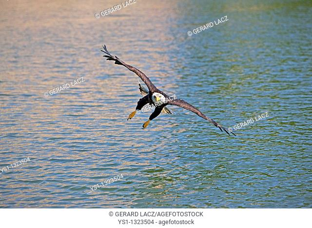 BALD EAGLE haliaeetus leucocephalus, JUVENILE IN FLIGHT OVER LAKE