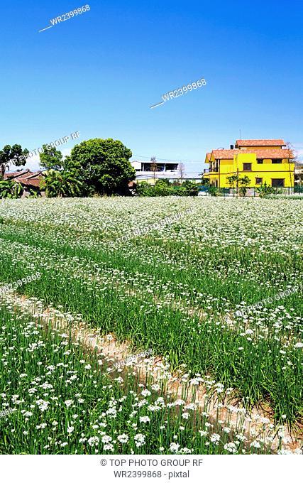 Daxi leek flowers field