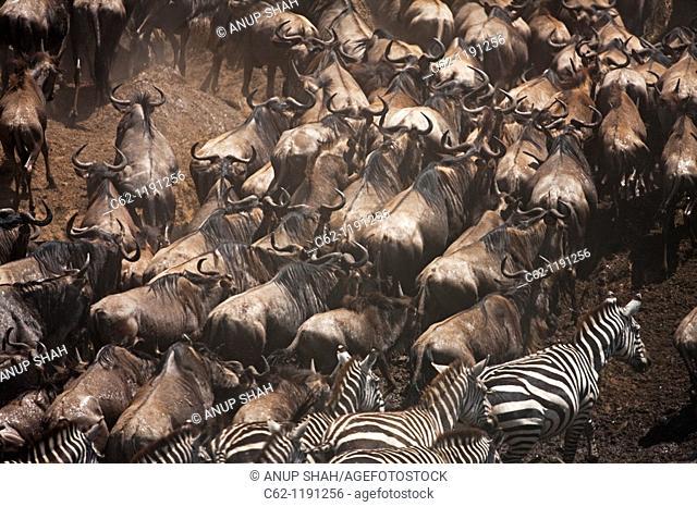 Eastern White-bearded Wildebeest (Connochaetes taurinus) herd and Common or Plain's Zebra (Equus quagga burchellii) moving up the river bank