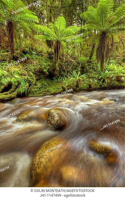 Punga tree ferns, Oparara river stained brown by organic matter, Kahurangi National Park, near Karamea, West Coast, New Zealand