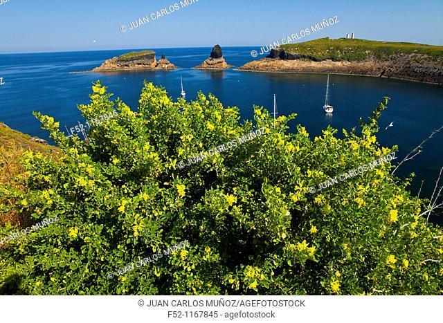 Alfalfa Arborea (Medicago citrina), Illa Grossa, Columbretes Islands, Castellon province, Comunidad Valenciana, Spain