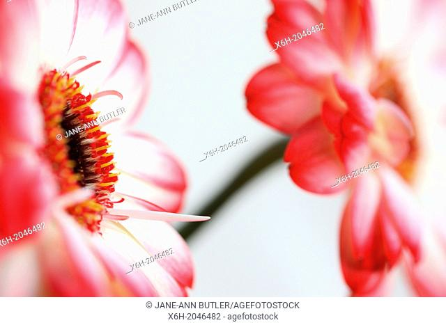 fresh and pure contemporary image of red tipped gerberas still life