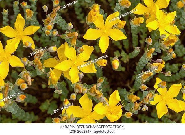Hypericum polyphyllum, Rockery St. John's Wort blooming