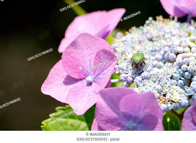 Hydrangea and Flower chafer