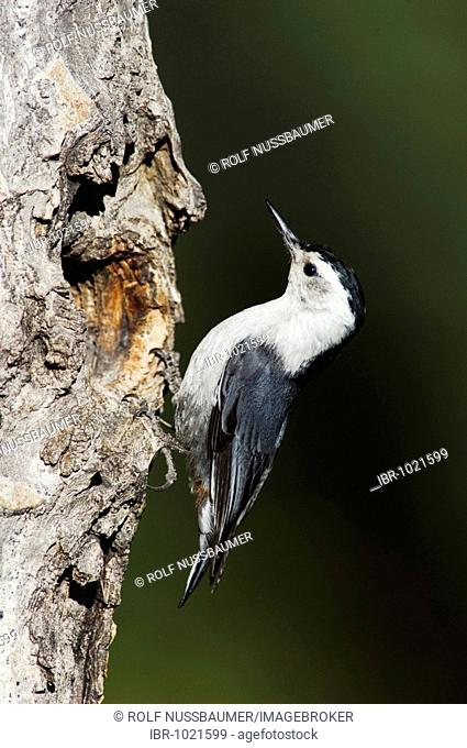 White-breasted Nuthatch (Sitta carolinensis), adult male at nesting cavity in aspen tree, Rocky Mountain National Park, Colorado, USA