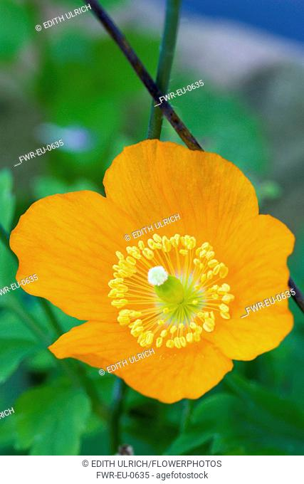Icelandic poppy, Papaver nudicaule, Close-up detail of a single orange flower with yellow stamen against a green leafy background
