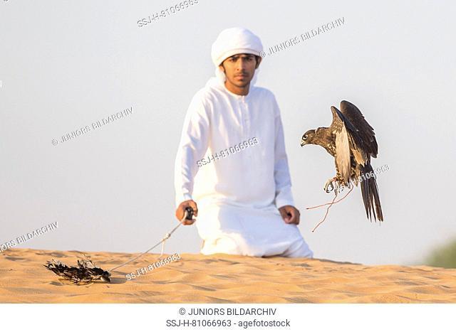 Saker Falcon (Falco cherrug). Falconer flying a falcon in the desert. Abu Dhabi