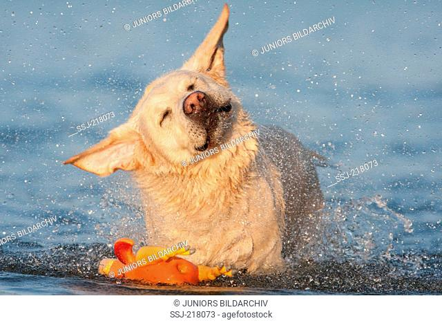 Labrador Retriever. Adult standing in the sea while shaking itself. Germany