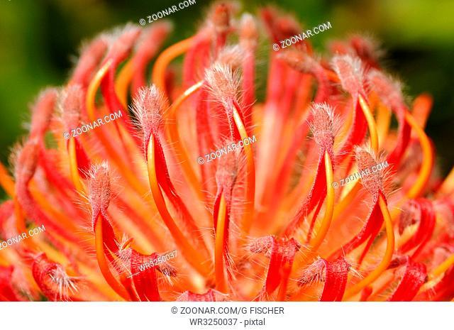 Leucospermum Hybride Scarlett Ribbon, Kapflora, Kapensis, Cape Floral Kingdom, Südafrika / Leucospermum Hybride Scarlett Ribbon, Cape Floral Kingdom