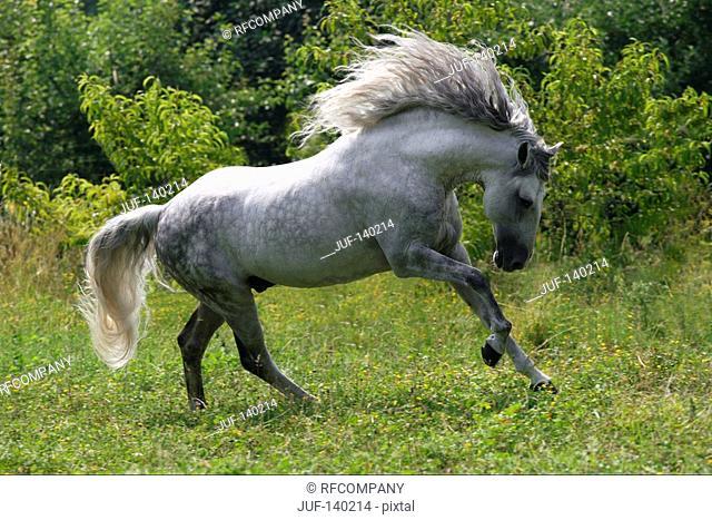 lusitano horse - bucking