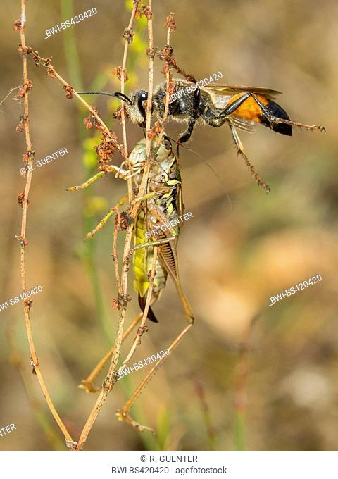 Golden Digger Wasp (Sphex funerarius, Sphex rufocinctus), Female with captured female larva Roesel's Bush-cricket (Metrioptera roeseli), Germany