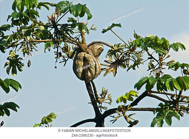 Three-toed sloth (Bradypus variegatus) on Cecropia tree in the northern mountain rainforests, Venezuela. Cecropia tree leaves are the favourite food of sloths