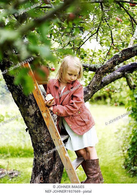 Girl on ladder picking apples, Varmdo, Uppland, Sweden