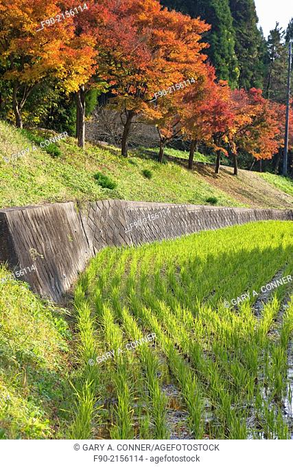 Maple trees in autumn at a rice field in Chiba, Japan