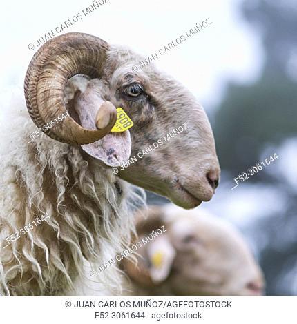 Sheep, Néouvielle Nature Reserve, Vallée d'Aure, L'Occitanie, Hautes-Pyrénées, France, Europe