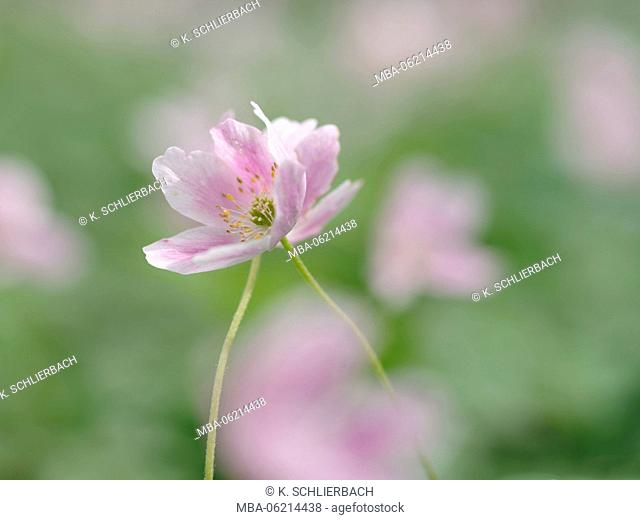 Germany, Thuringia, Hainich National Park, the flowers of the thimbleweed (Anemone nemorosa)