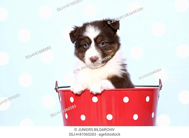 Australian Shepherd. Puppy (6 weeks old) sitting in a red bucket with white polka dots. Studio picture against a blue background with white polka dots
