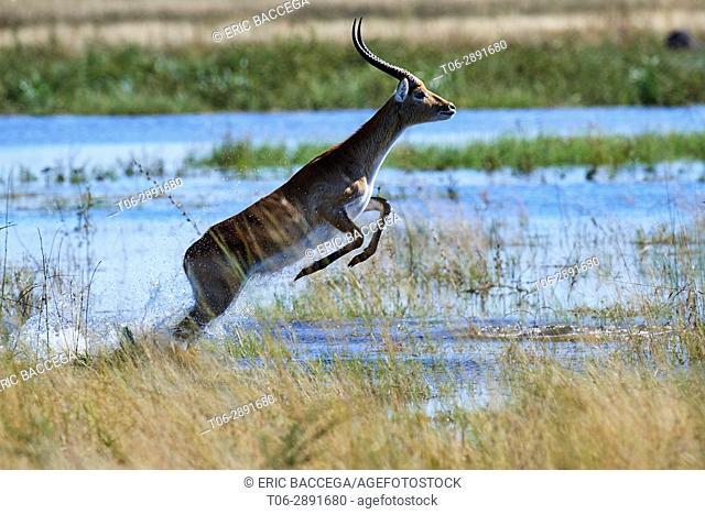 Red lechwe jumping in swamp (Kobus leche). Moremi National Park, Okavango delta, Botswana, Southern Africa