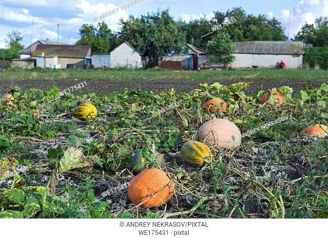 Orange pumpkins at outdoor farm. Pumpkin patch