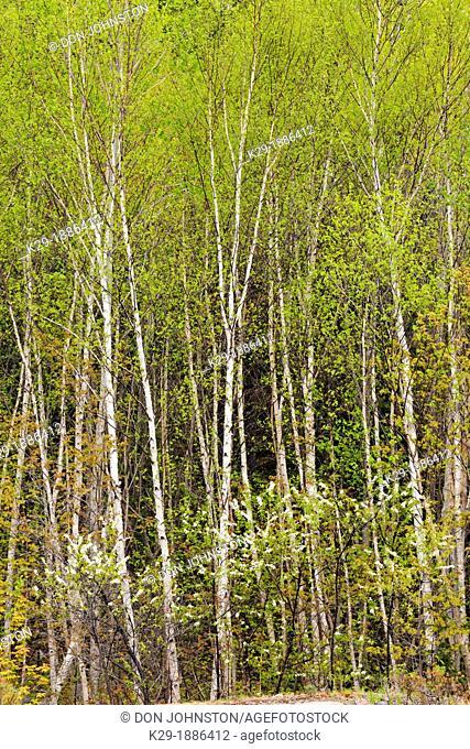 White birch Betula papyrifera grove with emerging spring foliage and flowering pincherry Prunus pennsylvanica, Killarney Provincial Park, Ontario, Canada