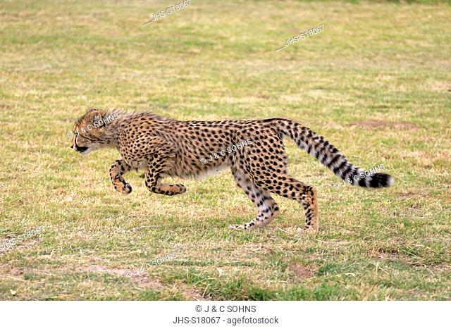 Cheetah, (Acinonyx jubatus), subadult running, Western Cape, South Africa, Africa