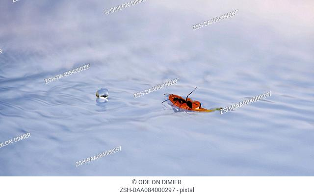 Ant drinking water from leaf floating on surface of water