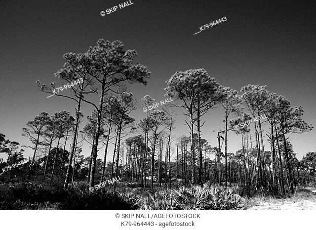 Black and white image of Florida pine trees against clear sky