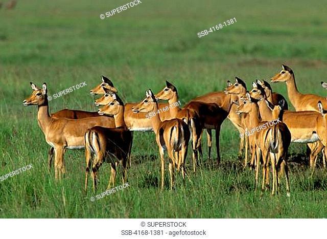 KENYA, MASAI MARA, IMPALAS WATCHING PREDATOR