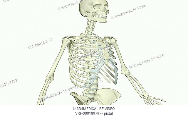 An animation of the cervical vertebrae. The camera zooms in and rotates to show the cervical vertebrae in isolation
