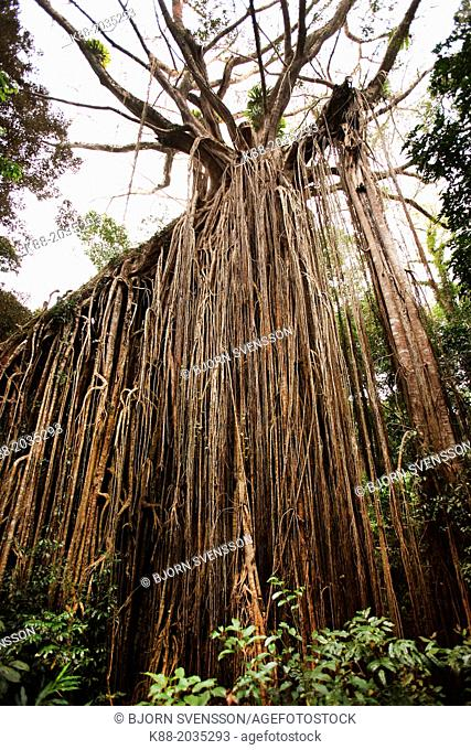 The Curtain Fig Tree, one of the largest trees in Tropical North Queensland. Atherton Tablelands, Queensland, Australia