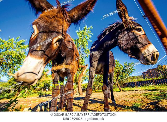 Two donkeys eating in a meadow, Montsec mountain range, pre-Pyrenees mountains, Lleida province, Catalonia, Spain