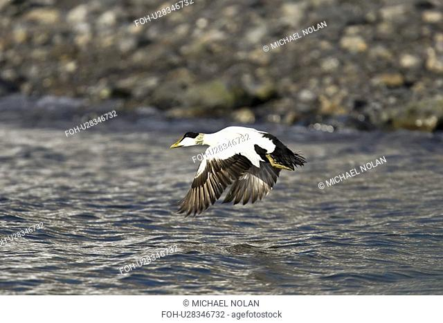 Adult male eider duck Somateria mollissima in breeding plumage in the Svalbard Archipelago in the Barents Sea, Norway