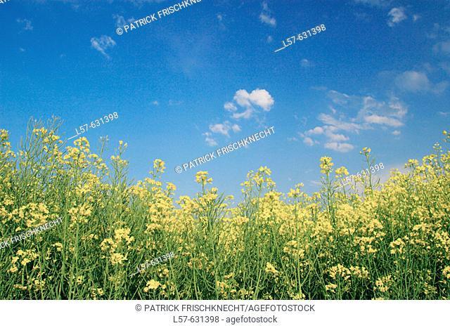 Field of Rape, Rape, Brassica napus, Raps, mustard plant, springtime, Gossau, Zuerich, Switzerland