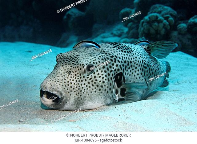 Starry Pufferfish (Arothron stellatus) on sandy sea bottom, being cleaned by two Common Cleaner Wrasses (Labroides dimidiatus), Hurghada, Red Sea, Egypt, Africa