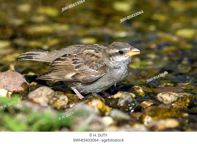 house sparrow (Passer domesticus), fledgeling drinks, Germany, Mecklenburg-Western Pomerania