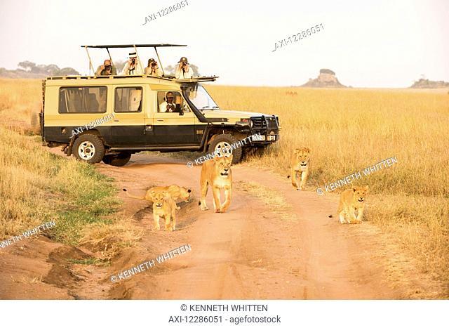 Lionesses (Panthera leo) with young cubs walk on dirt road in front of tourists in safari vehicle, Serengeti National Park; Tanzania
